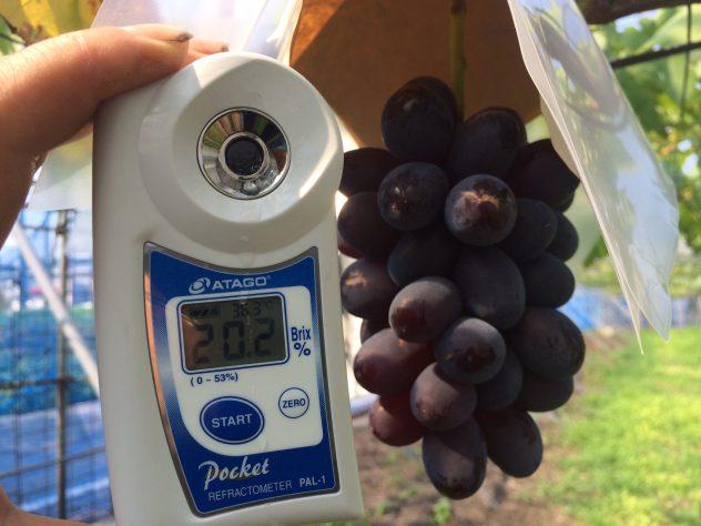 黒いバラード糖度20度