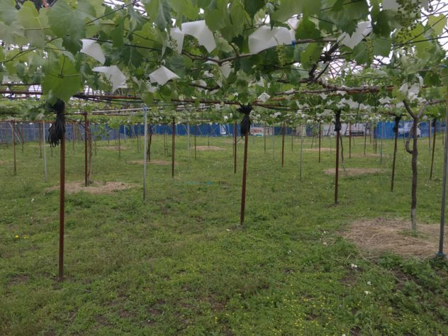 ジベレリン処理後のぶどう園