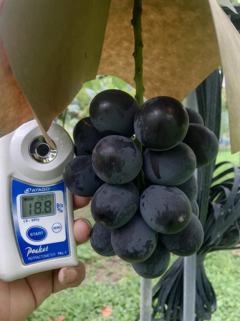 紫玉糖度18度