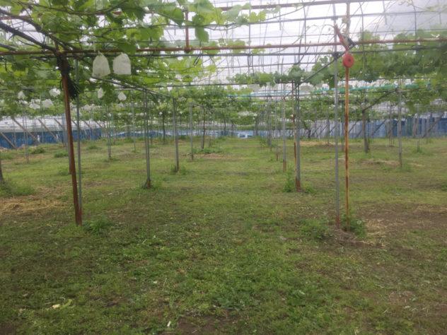 6月10日草刈り後の圃場