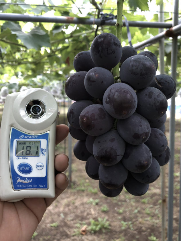 糖度18度の紫玉
