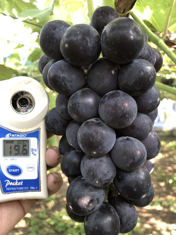 紫玉糖度19度
